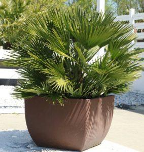Palmier Chamaerops Humilis en pot