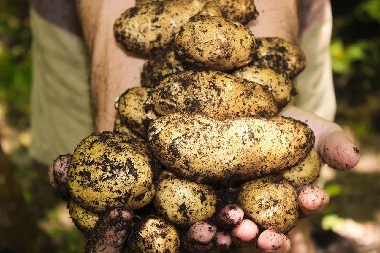 Personne tenant des pommes de terres terreuses dans ses mains