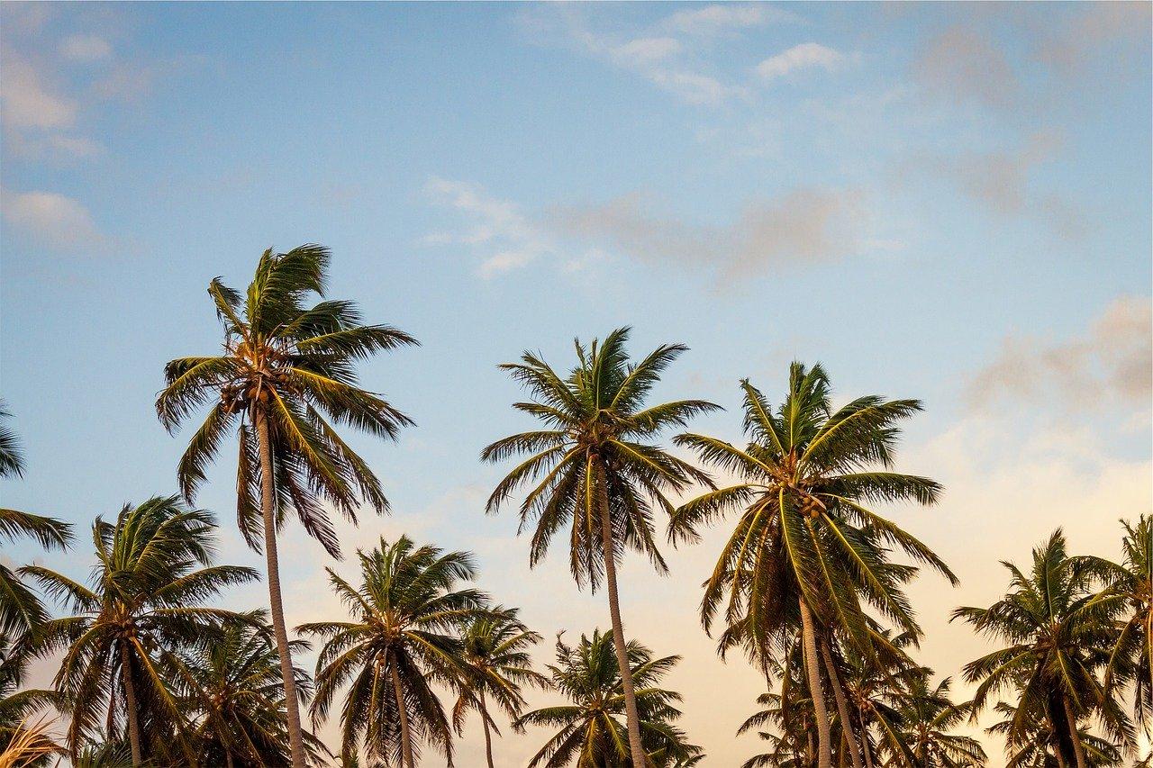 Plusieurs palmier sous un coucher de soleil