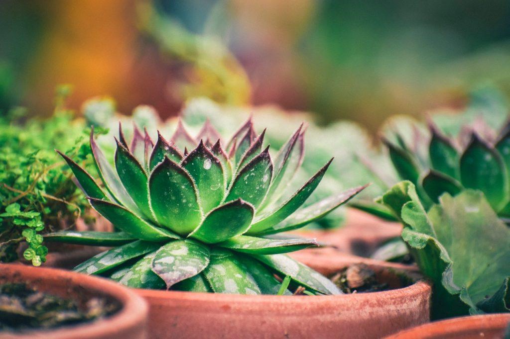 Petit cactus, plante grasse en pot