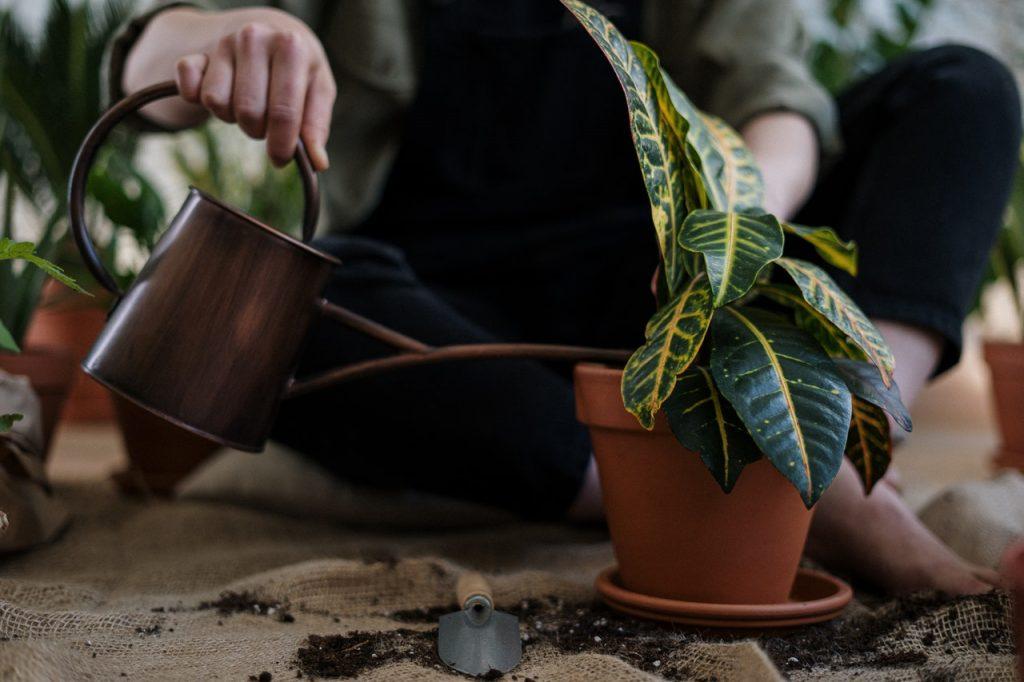 Arrosage d'une plante verte