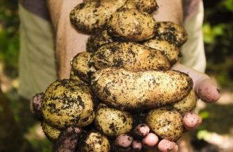 Peut-on Planter des Pommes de Terre de Consommation Germées ?